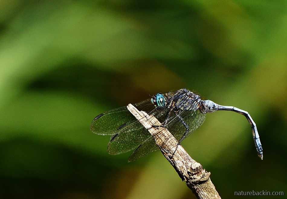 Dragon fly perching with curled abdomen, South Africa