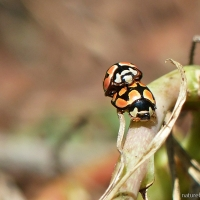 Ladybirds: Not a bird but a beetle