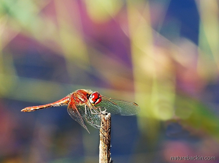 Scarlet dragonfly, South Africa