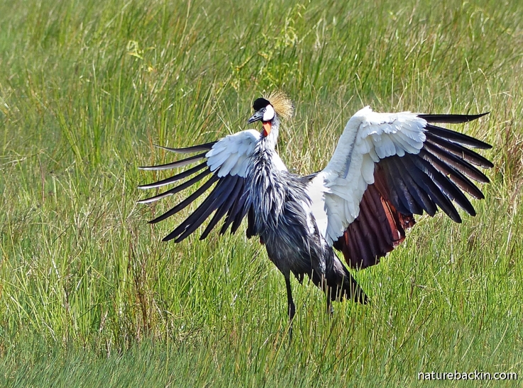 Grey Crowned Crane spreading its wings in courtship display or dance, KZN, South Africa