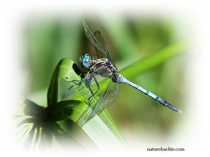 Dragonfly perching on papyrus, South Africa