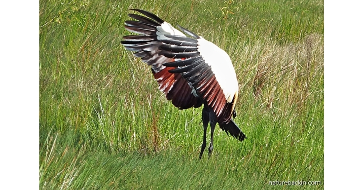 Grey Crowned Crane flapping its wings during courtship display