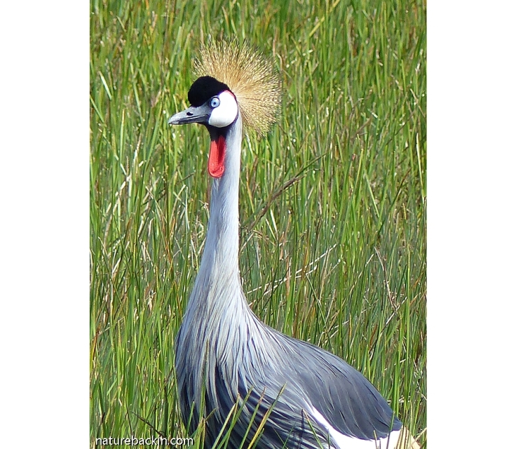 Portrait of a Grey Crowned Crane, South Africa