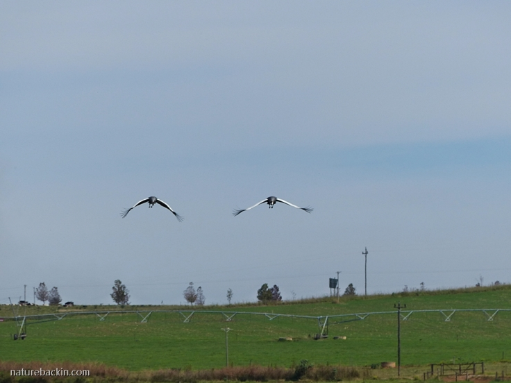 Grey Crowned Cranes in flight over farmland in the KZN Midlands