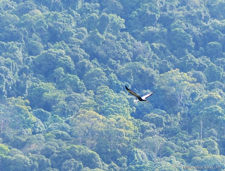 Wattled Crane in flight over mistbelt forest, Karkloof Conservancy, KZN Midlands, South Africa