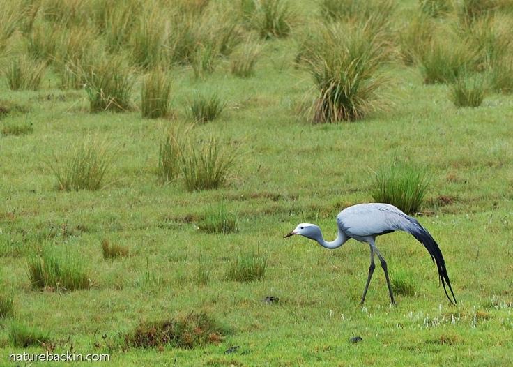 Blue Crane in Eastern Cape, South Africa