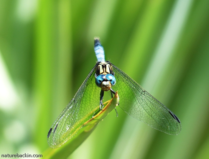 5 Dragonfly
