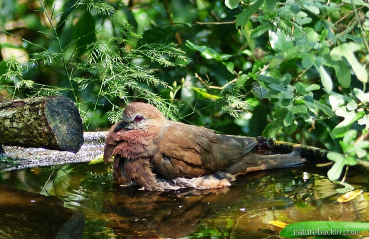 Lemon Dove (Cinnamon Dove) bathing in a garden birdbath, South Africa