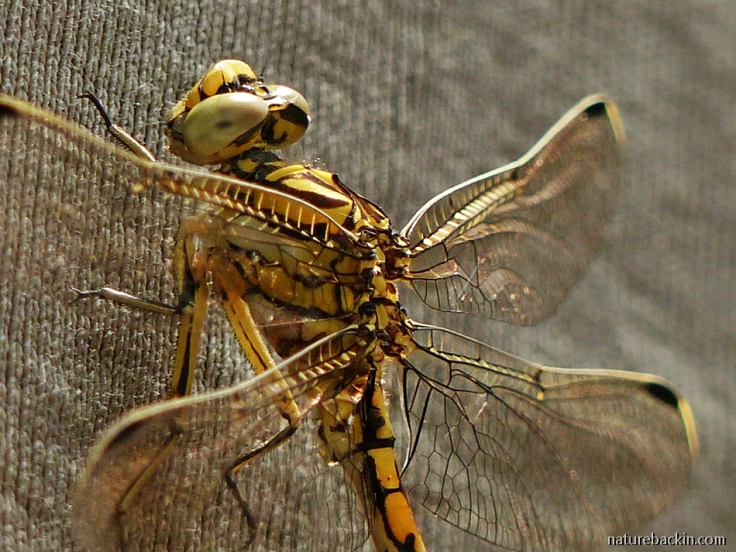 6 Dragonfly Common Thorntail