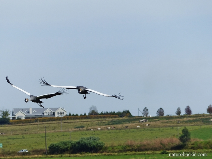 Pair if Grey Crowned Cranes coming into land in a wetland in a farming area in the KZN Midlands