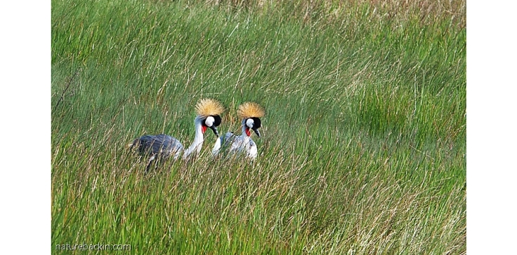Pair of Grey Crowned Cranes in grassland in Karkloof Conservancy, KZN Midlands