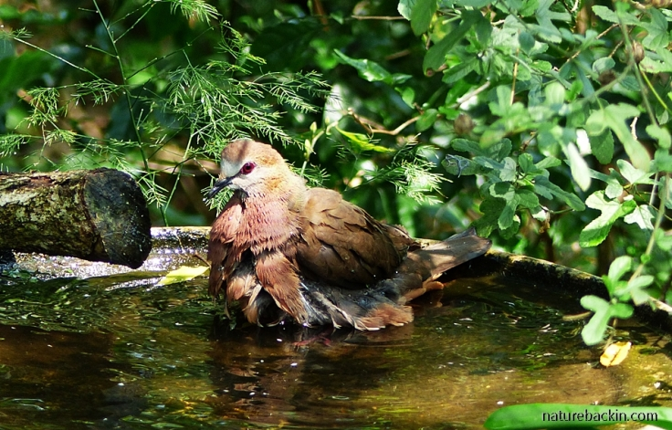 Lemon Dove (Cinnamon Dove) in birdbath