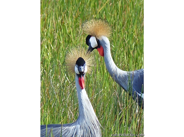 A pair of Grey Crowned Cranes, KZN Midlands, South Africa