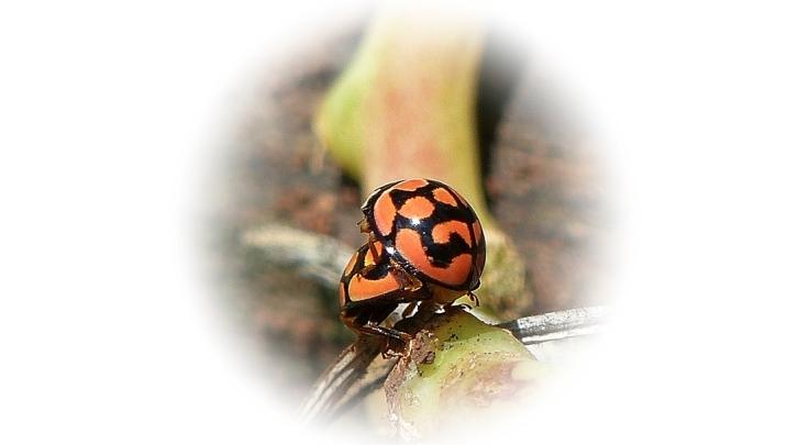 8 Lunate Ladybird