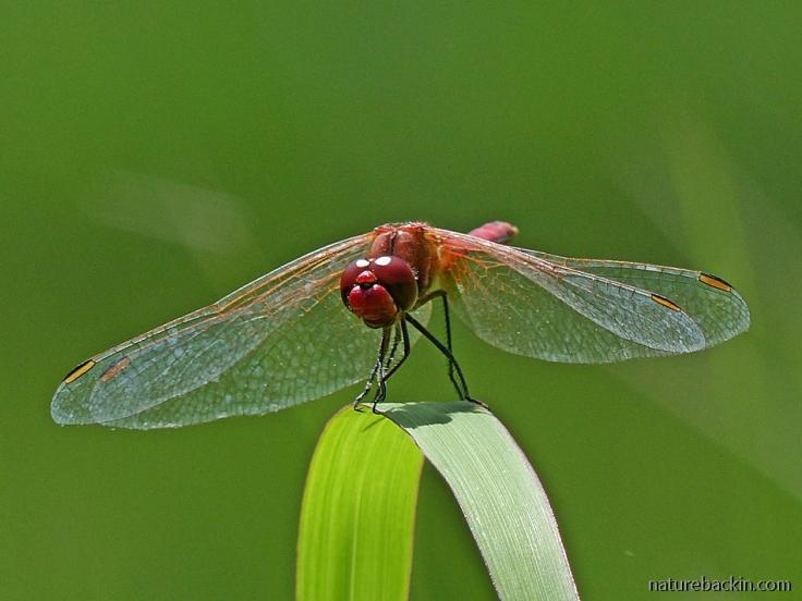 Scarlet dragonfly perching, KwaZulu-Natal