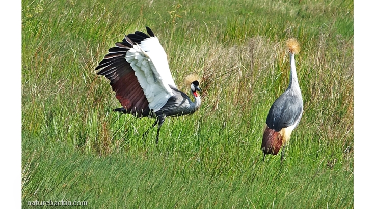 Courtship dance of the Grey Crowned Crane, Karkloof Conservancy, KZN, South Africa