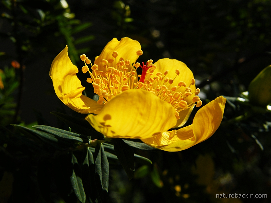 Flower of the Curry Bush (Hypericum revolutum)