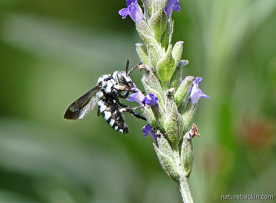 Cuckoo Bee feeding on lavender flower, South Africa