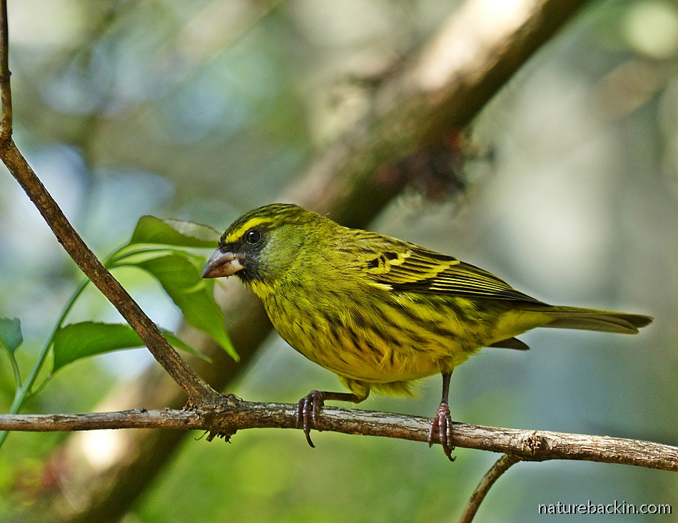 Forest Canary in suburban garden in KwaZulu-Natal