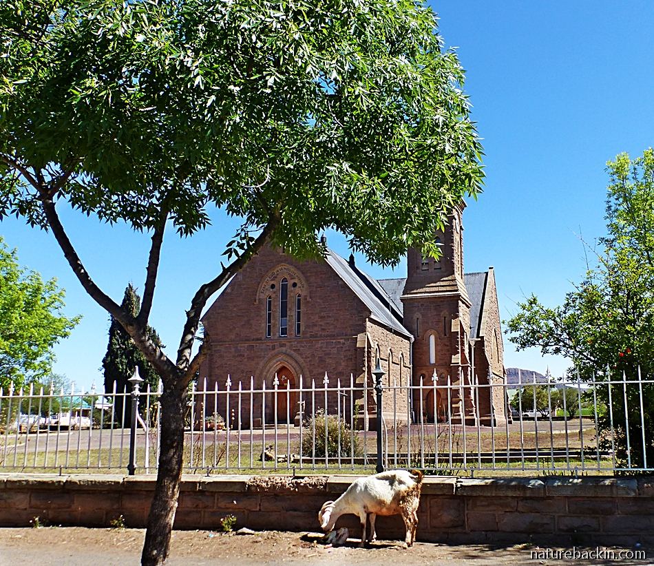 Goat with new-born baby outside church in Tarkastad, Eastern Cape, South Africa