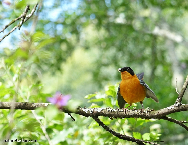 Parent Chorister Robin-chat calling prior to feeding babies in nest