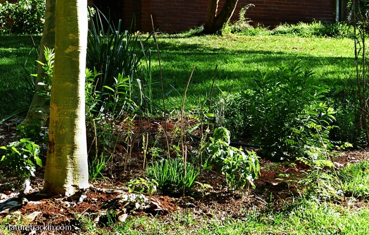 Cardboard and soil mulch in a new no-dig flowerbed