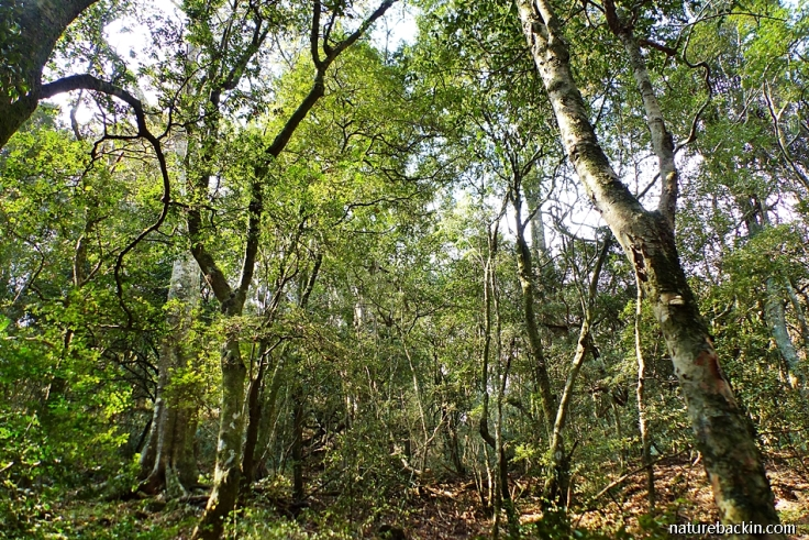 Trees in mistbelt forest, KwaZulu-Natal Midlands