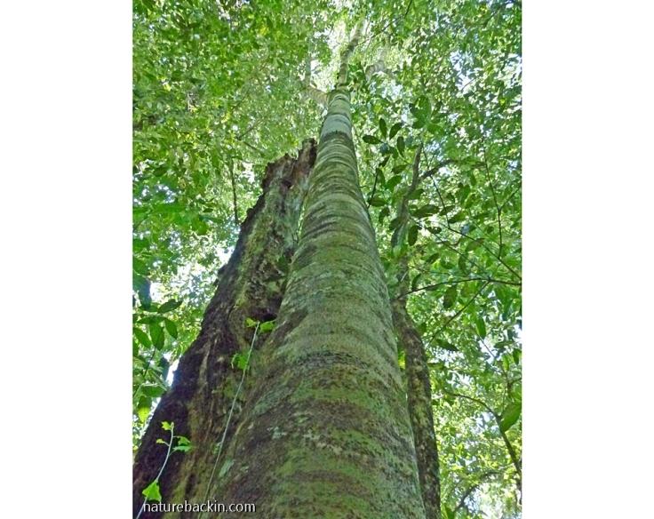 Celtis Africana (White Stinkwood) in mistbelt forest, KwaZulu-Natal