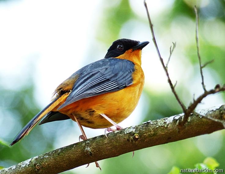 Parent Chorister Robin-chat, KwaZulu-Natal