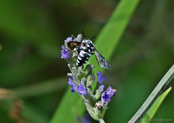 Cuckoo Bee on Lavender flowers, South Africa