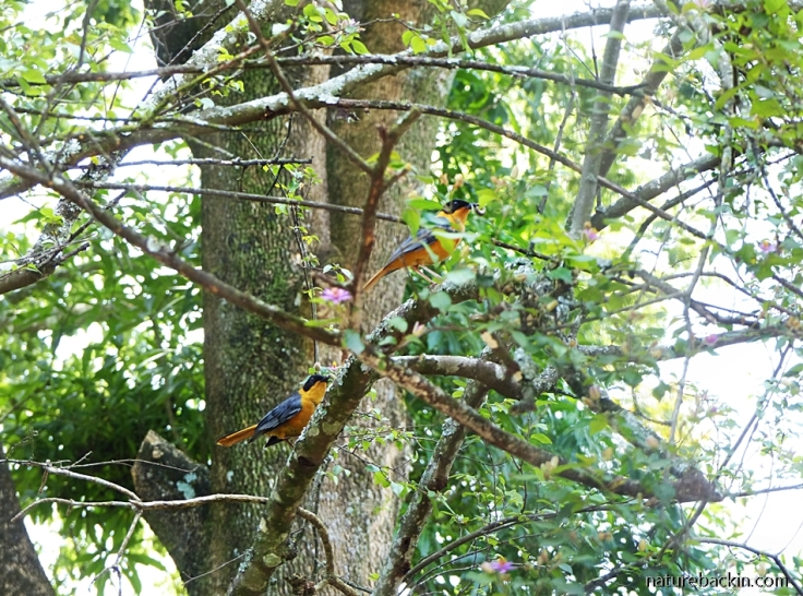 Breeding pair of Chorister Robin-chats in Crossberry Tree