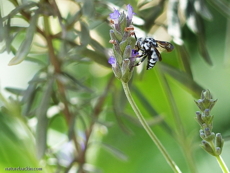 Cuckoo Bee taking nectar from a Lavender flower, South Africa