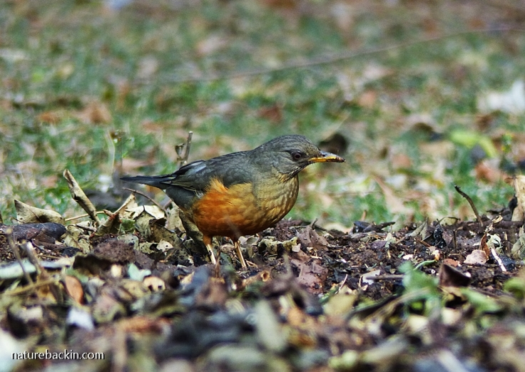 Olive Thrush searching for food in mulch on a no-dig flowerbed in a suburban garden in South Africa
