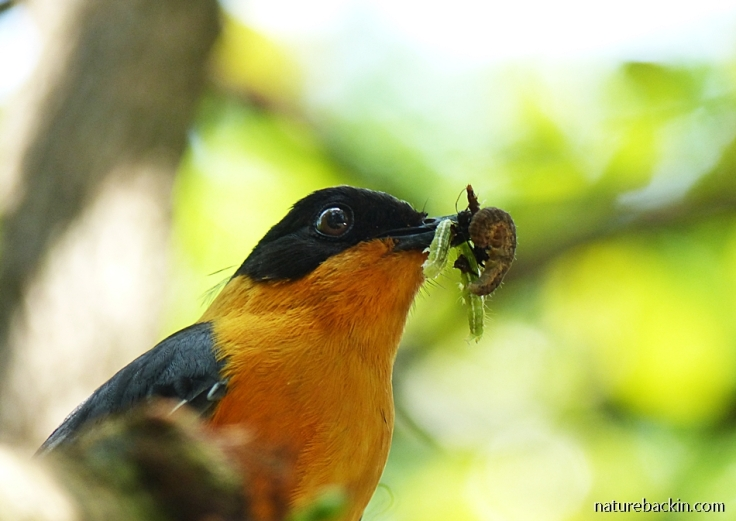Chorister Robin-Chat holding several prey items in bill to feed to nestlings