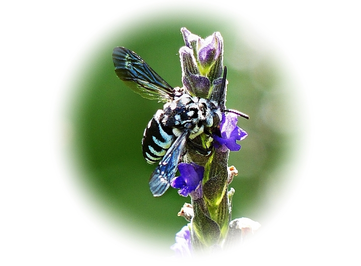 Cuckoo Bee feeding on nectar