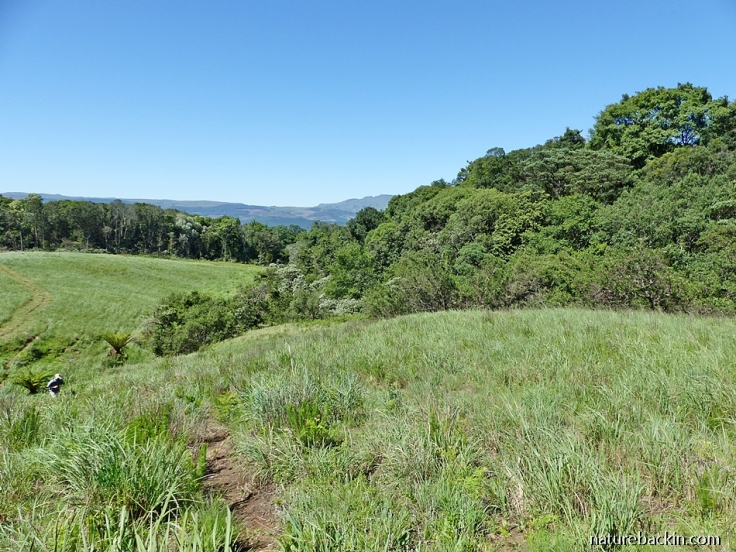 Mistbelt grassland and forest in the KwaZulu-Natal Midlands