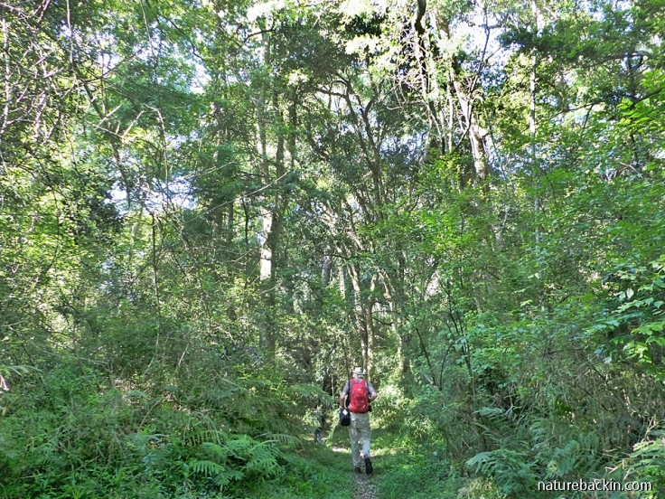 Hiking among tall trees in mistbelt forest, KwaZulu-Natal