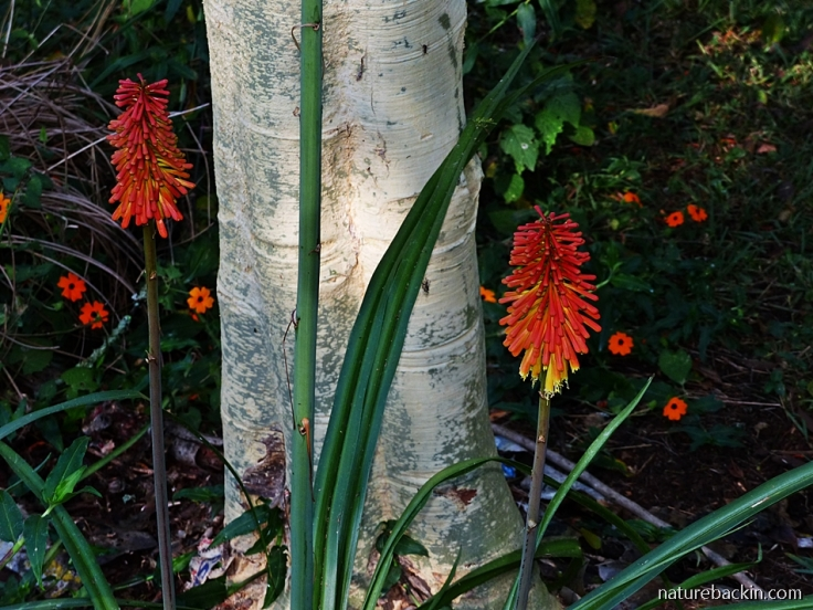 Flowers of the Aloe praecox and the Black-eyed Susan creeper in a suburban garden in KwaZulu-Natal, South Africa