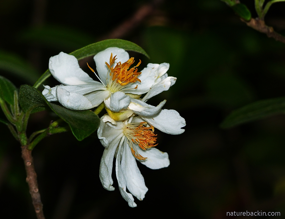 Flowers of the African Dog Rose, South Africa