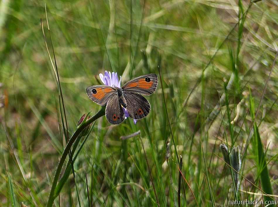 Butterfly in grassland, South Africa