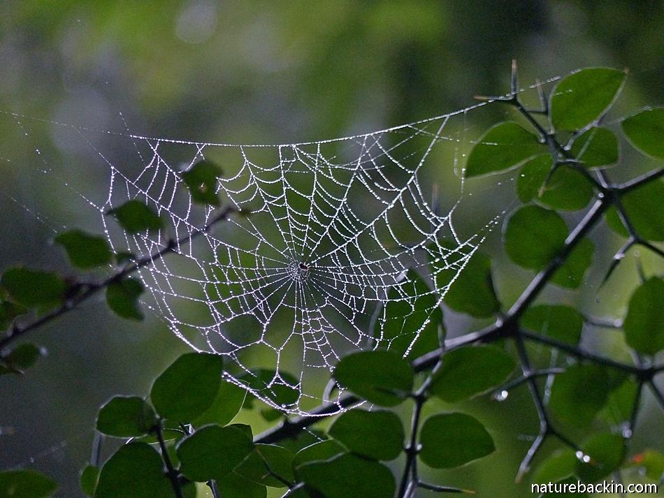 Spider web in forest, KwaZulu-Natal