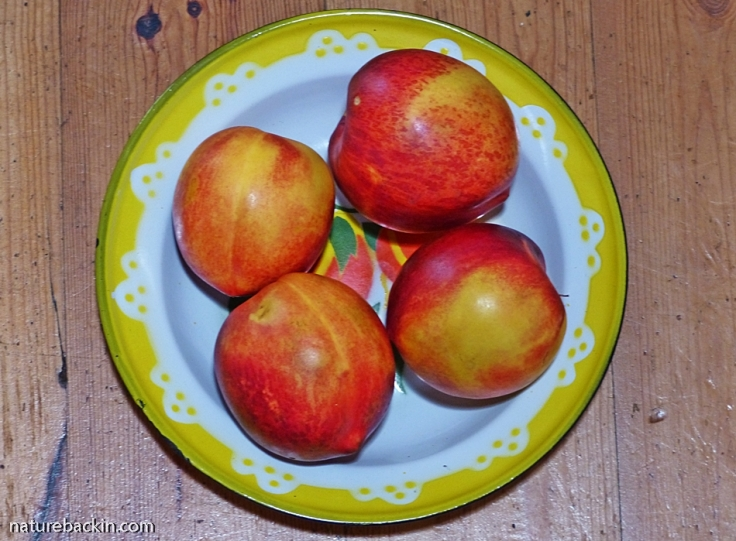 Nectarines in yellow-rimmed dish