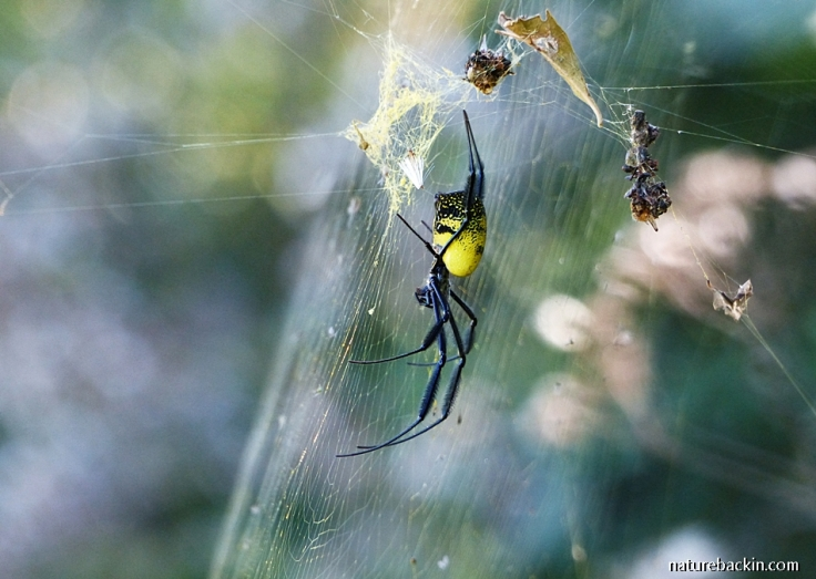Black-leged Golden Orb-web Spider on her web, South Africa