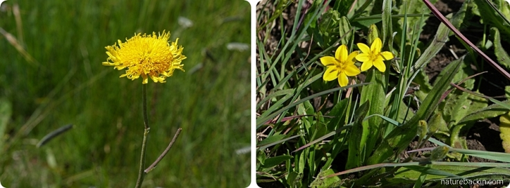 Grassland wild flowers, KwaZulu-Natal Midlands