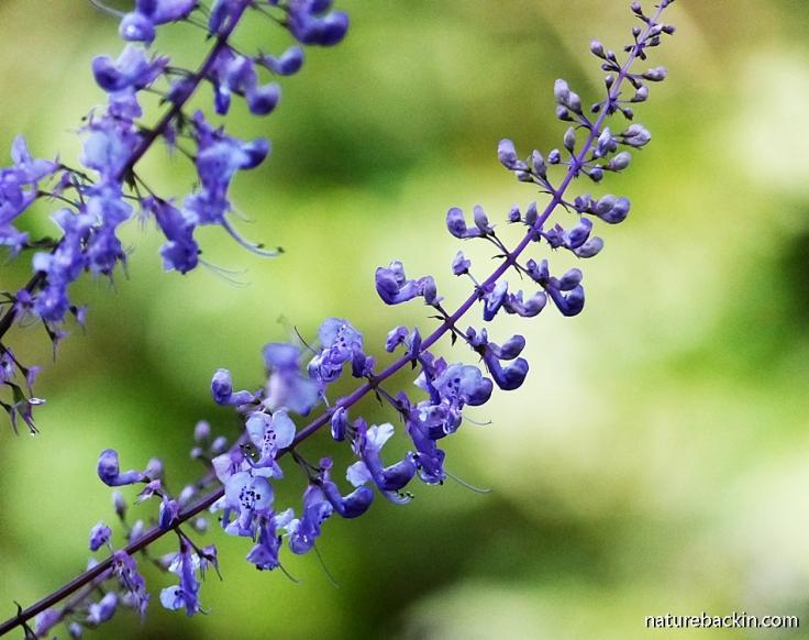 Blue flowers of Plectranthus in mistbelt forest, KZN Midlands