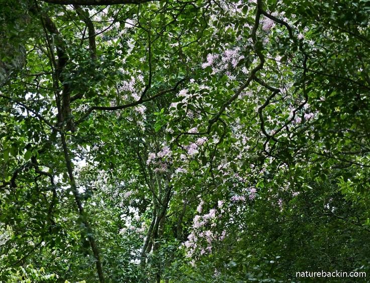 Cape Chestnut tree flowering in mistbelt forest, KwaZulu-Natal, South Africa