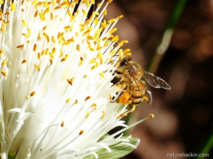 Honeybee visiting the flower of the paintbrush lily (Haemanthus albiflos)