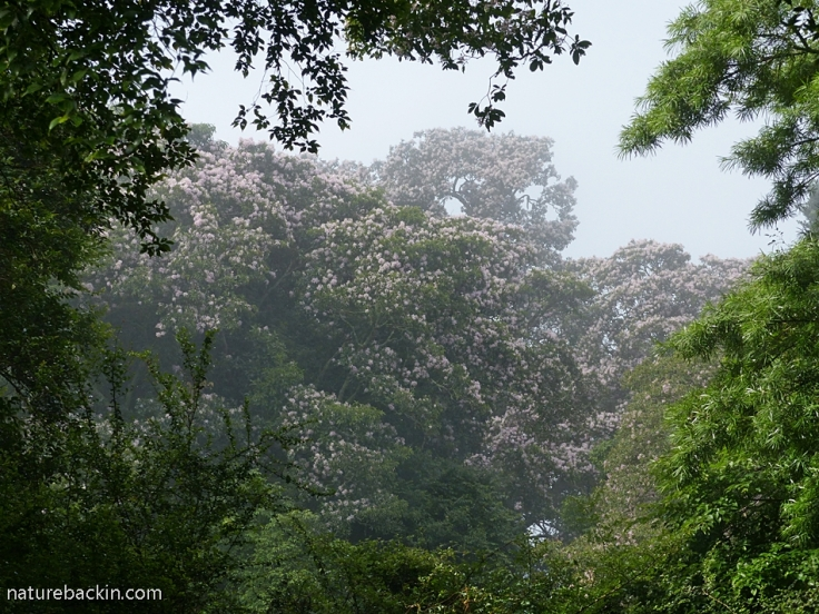 Misty view of flowering Cape Chestnut trees, KZN forest