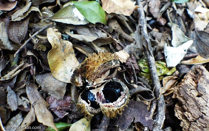 Seeds of the Cape Chestnut on the forest floor