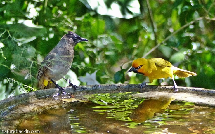 Darkcapped Bulbul and Spectacled Weaver sharing birdbath, KZN